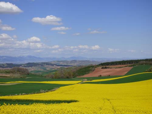 Flores amarelas são de Canola.