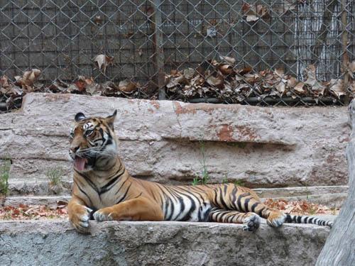 Tigre: sozinho e morrendo de calor.