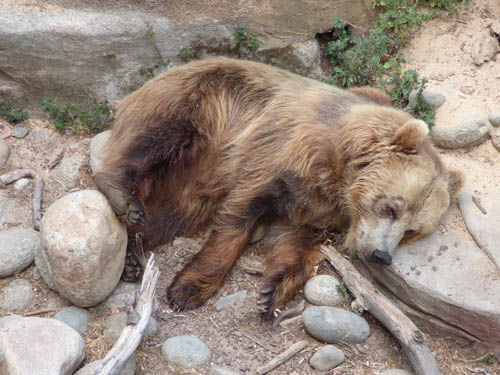 urso_pardo