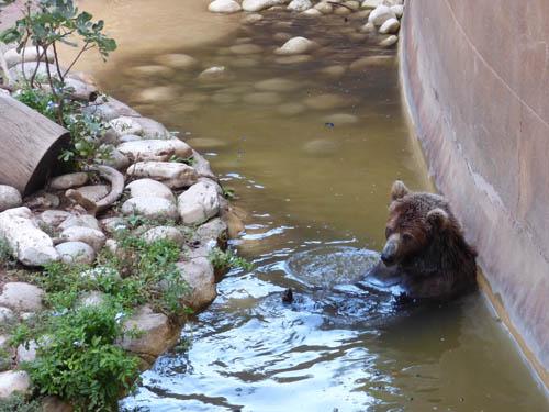 Este urso estava com mais um e água estava bem suja.