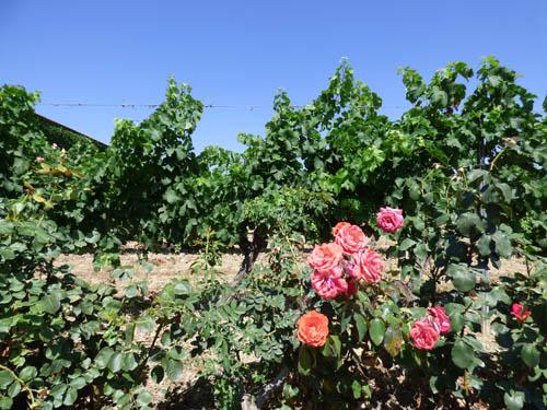 Vinhedos ecológicos. As rosas são as primeiras a serem infectadas com as pragas.