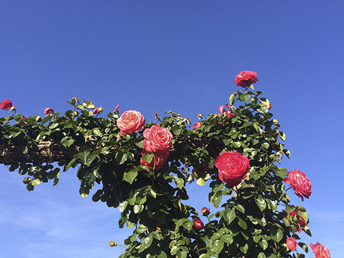 rosas-parque-cervante